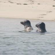 Heel veel zeehonden