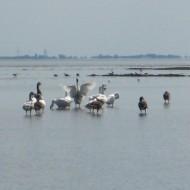 Heel veel vogels